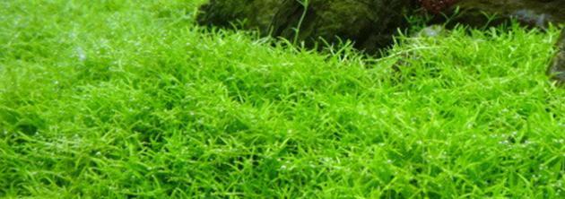 水草、インディアン クラススラで緑の絨毯の作成記録!