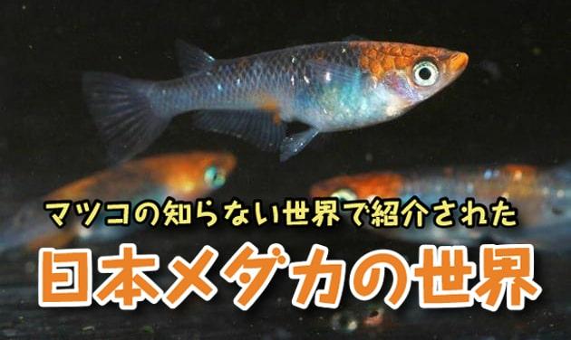 マツコの知らないメダカの世界 放送記念!観賞用 改良日本めだか紹介!