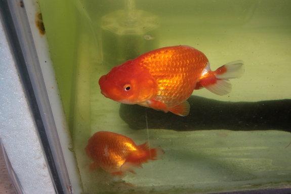 お店の金魚その1