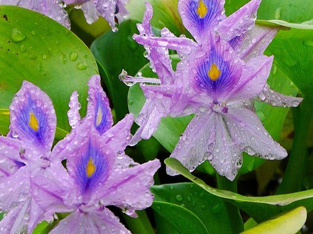 ホテイアオイ・ホテイ草の育て方~開花~越冬まで!メダカと相性抜群です ...