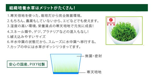 水草(組織培養)